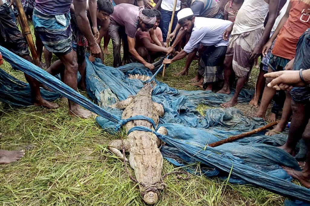 Alligator species considered extinct in Bangladesh are being hunted in the country |  Globalism