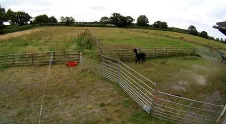 Alpaca Geronimo at his farm in England
