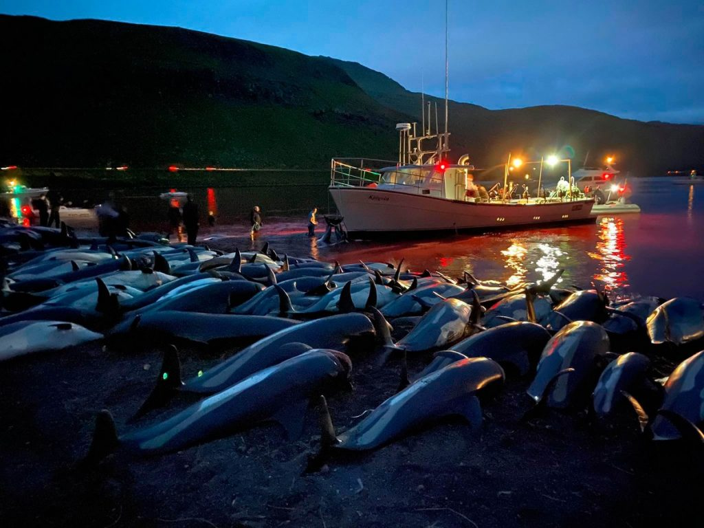 About 1,500 dolphins are caught in the Faroe Islands.  A non-governmental organization condemns the massacre in strong images    temper nature
