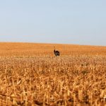 Maize recedes in Chicago with U.S. harvest progress;  Soy stands firm