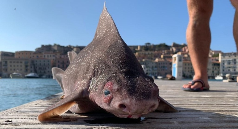 A pig-like shark found on an Italian island