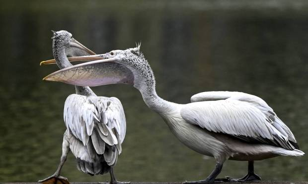 Pelican with a red bill on the shore of an artificial lake in Colombo Photo: Ishara S. Kodikara / AF