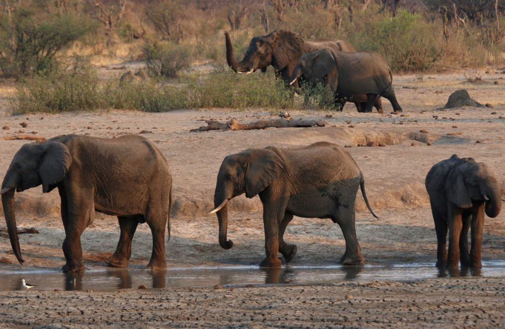 A 71-year-old tourist dies at the hands of an elephant in Zimbabwe |  Globalism